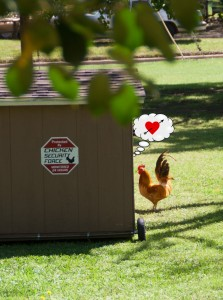 Chicken Love