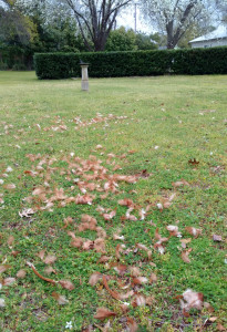 Chicken feathers could be seen strewn across the yard where the attack took place.
