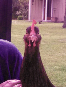 Laverne The Chicken, Before She Died